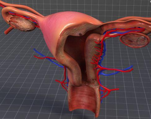 Qué tan profunda es la vagina promedio? » FLUJO VAGINAL
