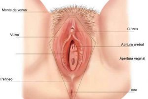 Anatomía vaginal externa